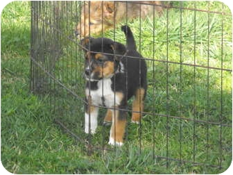 Bernese Mountain Dog/German Shepherd Dog Mix Puppy for adoption in Wilminton, Delaware - Trip