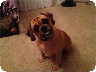 Pug/Beagle Mix Dog for adoption in Lake Forest, California - Zoey