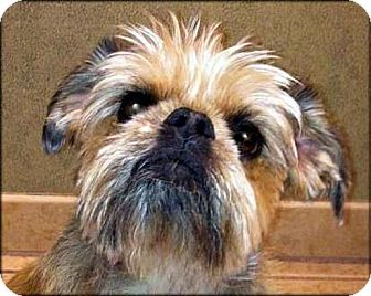 Brussels Griffon Dog for adoption in Mesa, Arizona - TESS - ADOPTION PENDING