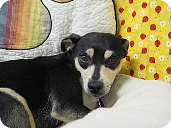 Terrier (Unknown Type, Small) Mix Dog for adoption in Lexington, Kentucky - Squek