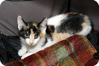 Calico Kitten for adoption in Farmingdale, New York - Kendall