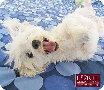 Maltese/Spaniel (Unknown Type) Mix Dog for adoption in Marina del Rey, California - Ursula