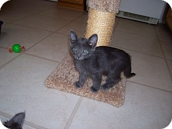 Russian Blue Kitten for adoption in Santa Monica, California - Blue