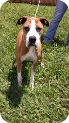 Boxer Mix Dog for adoption in Staunton, Virginia - Addie