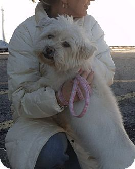 Westie, West Highland White Terrier Mix Dog for adoption in Middletown, New York - Sparky