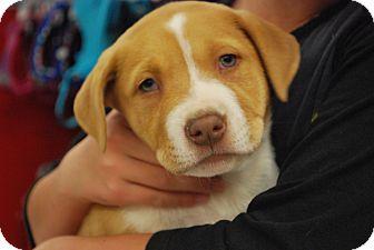 American Bulldog Mix Puppy for adoption in Ogden, Utah - Taylor