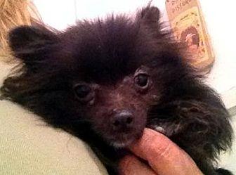 Pomeranian Dog for adoption in Irvine, California - Max