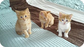 Domestic Shorthair Kitten for adoption in Fairborn, Ohio - Cheer
