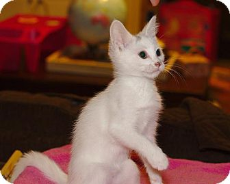 Domestic Shorthair Kitten for adoption in Nashville, Tennessee - Jasmine