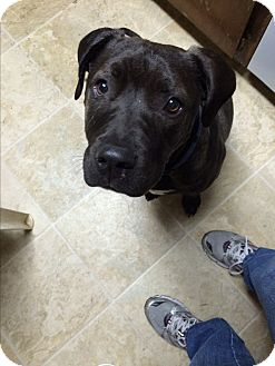 Pit Bull Terrier/Labrador Retriever Mix Dog for adoption in Tracy, California - Bruno-ADOPTED!