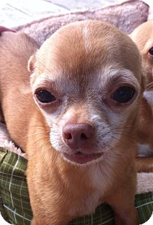 Chihuahua Mix Dog for adoption in Essington, Pennsylvania - Munchkin