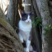 Adopt A Pet :: Caroline - Naples, FL
