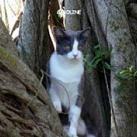 Domestic Shorthair Cat for adoption in Naples, Florida - Caroline