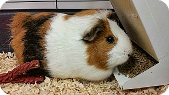 Guinea Pig for adoption in Chambersburg, Pennsylvania - CoCoa