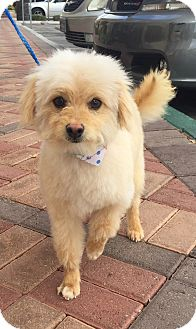 Poodle (Miniature) Mix Dog for adoption in Las Vegas, Nevada - Louie