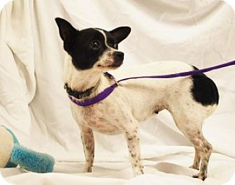 Chihuahua Mix Dog for adoption in Chalfont, Pennsylvania - Petunia