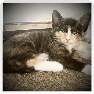 Domestic Shorthair Kitten for adoption in Medford, Wisconsin - MATILDA