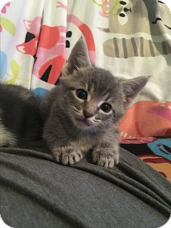 Domestic Shorthair Kitten for adoption in Richmond, Virginia - Posey