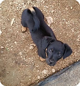 Pomeranian Mix Puppy for adoption in Buchanan Dam, Texas - Natalia