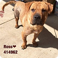 Adopt A Pet :: Ross in TX - Mira Loma, CA