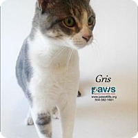Adopt A Pet :: Gris - Belle Chasse, LA