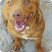 Adopt A Pet :: Fortuna - Las Cruces, NM