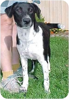 Terrier (Unknown Type, Medium)/Labrador Retriever Mix Puppy for adoption in North Judson, Indiana - Lilly