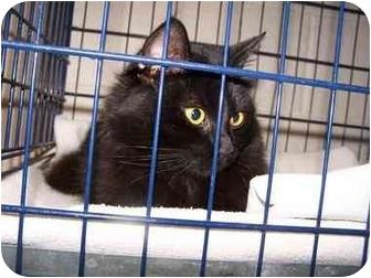 Domestic Mediumhair Cat for adoption in Lake Linden, Michigan - Cricket