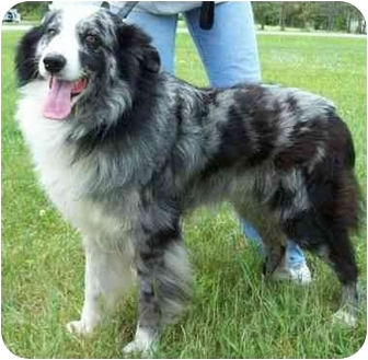Australian Shepherd Dog for adoption in North Judson, Indiana - Buck