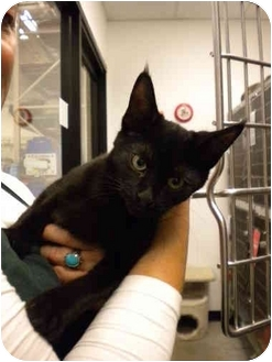Domestic Shorthair Kitten for adoption in San Diego, California - Savanah