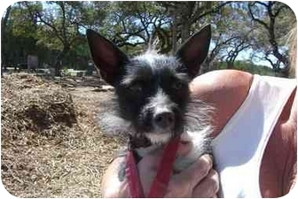 Fox Terrier (Wirehaired) Mix Dog for adoption in Fair Oaks Ranch, Texas - O'Riley