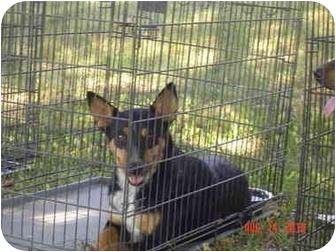 Australian Kelpie Dog for adoption in Fairfield, Texas - Penny