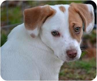 Beagle/Dachshund Mix Puppy for adoption in Windham, New Hampshire - Tony