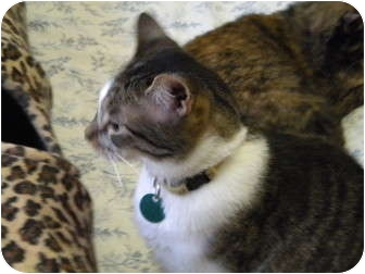 American Shorthair Cat for adoption in Cleveland, Ohio - Justice