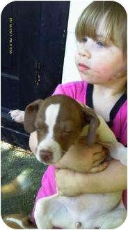 Beagle/Chihuahua Mix Puppy for adoption in berwick, Maine - Beagle Chihuahua mix pups