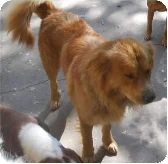 Golden Retriever Mix Dog for adoption in New Brighton, Minnesota - Big Red