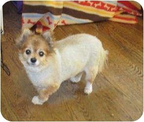 Pomeranian Mix Dog for adoption in Overland Park, Kansas - PACO
