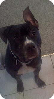 American Pit Bull Terrier/American Staffordshire Terrier Mix Dog for adoption in South St. Paul, Minnesota - Paulie