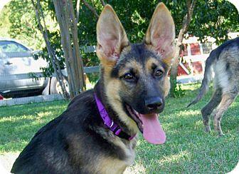 German Shepherd Dog Puppy for adoption in Austin, Texas - Tessa