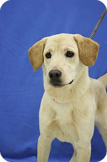 Labrador Retriever/Retriever (Unknown Type) Mix Puppy for adoption in Broomfield, Colorado - Furby