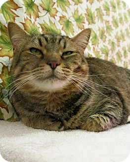 Domestic Shorthair Cat for adoption in Buena Vista, Colorado - Amber