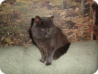 Domestic Mediumhair Cat for adoption in Norwich, New York - Simon