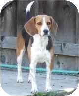 Beagle Dog for adoption in Elk Grove, California - Molly