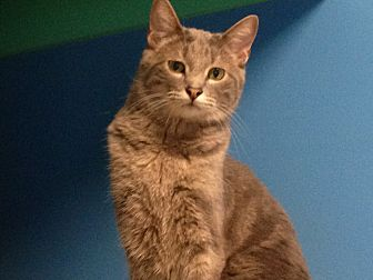 Domestic Shorthair Cat for adoption in Topeka, Kansas - Galahad