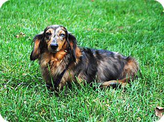 Dachshund Mix Dog for adoption in Salem, New Hampshire - DOLLY ANN