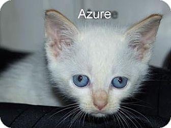 Birman Kitten for adoption in Germantown, Maryland - Azure