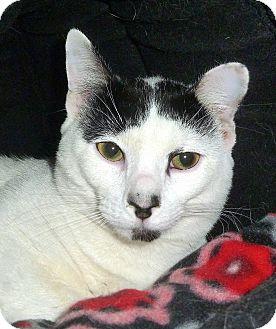 Domestic Shorthair Cat for adoption in Carmel, New York - Oreo