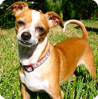 Chihuahua/Whippet Mix Puppy for adoption in Ft Myers Beach, Florida - I Am Happy!