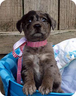 Australian Shepherd/Retriever (Unknown Type) Mix Puppy for adoption in Media, Pennsylvania - Astro