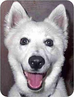 American Eskimo Dog/Spitz (Unknown Type, Medium) Mix Puppy for adoption in Downey, California - Sparky